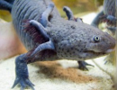 Salamander Genome Project/photo