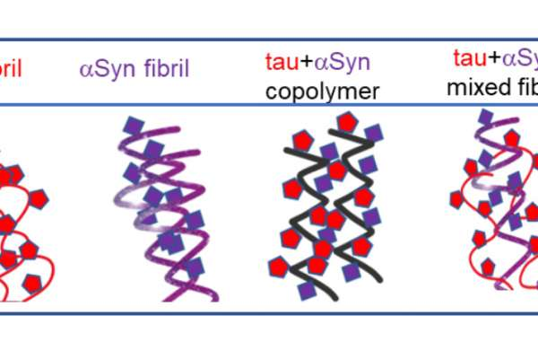 Using transgenic mouse models of tauopathy and synucleinopathy, Williams et al., show that preformed fibrils of tau and α-synuclein protein can cross-seed each other efficiently in the brain.
